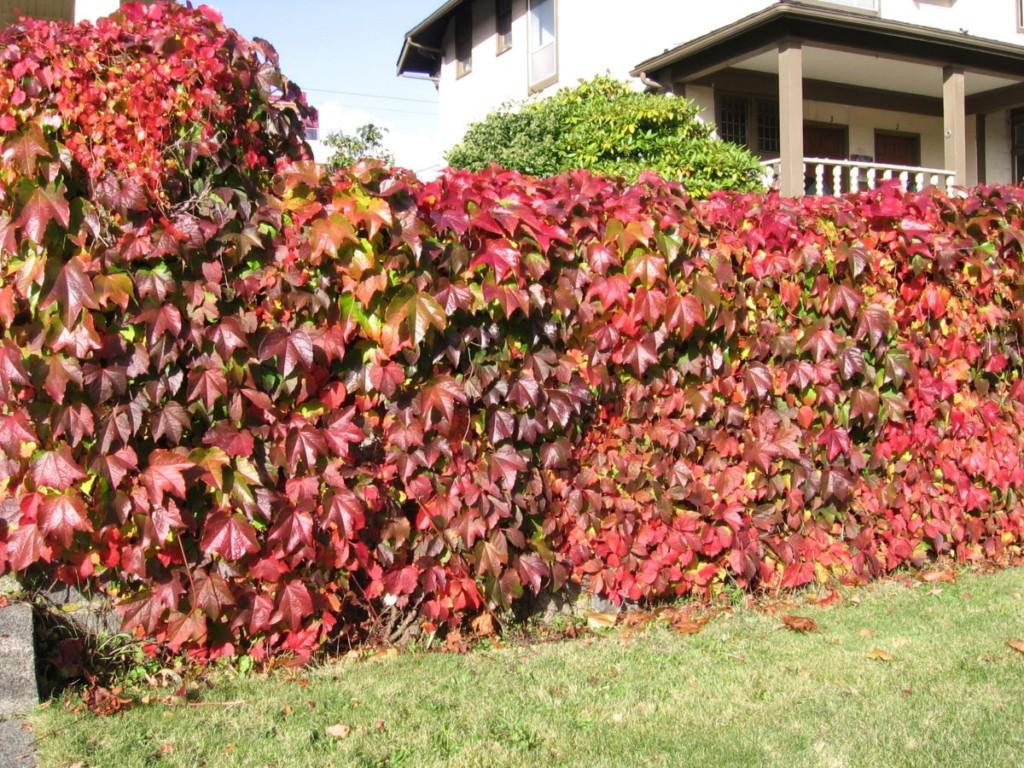 Feuilles pourpres des raisins de la jeune fille au début de l'automne